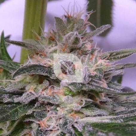 Bubba Hash Feminizada (Ace Seeds)