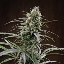 Congo Feminizada (Ace Seeds)