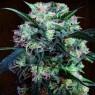 Kali China Feminizada (Ace Seeds)