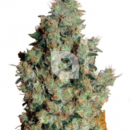 Tangerine Dream (Barney´s Farm)