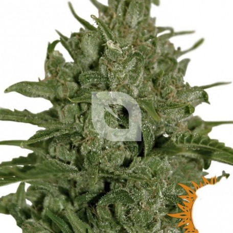 Triple Cheese (Barney´s Farm)