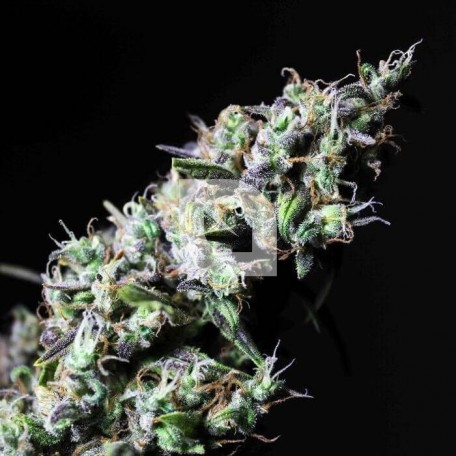 Icer (R-Kiem Seeds)
