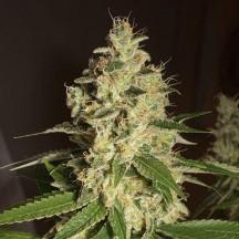 Raspberry Diesel (Humboldt Seeds)