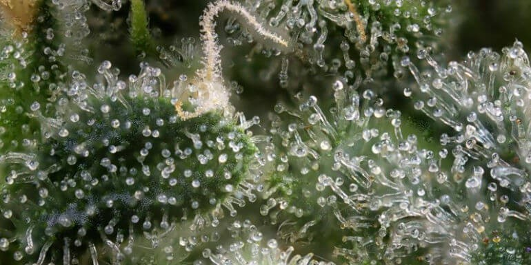 Cómo aumentar la producción de terpenos en plantas de marihuana